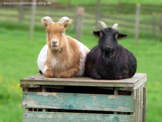Ziegen-Pärchen, schwarze und braunweiße Ziege auf einer Holzkiste mit Weide im Hintergrund