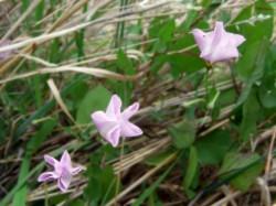 drei Ackerwindenblüten bei bedecktem Himmel - geschlossene Blüten