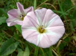 Ackerwindenblüte geöffnet - rosa weiße Farbe
