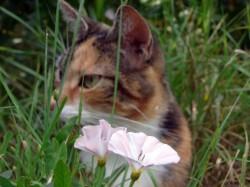 Getigerte Katze mit Ackerwindenblüten