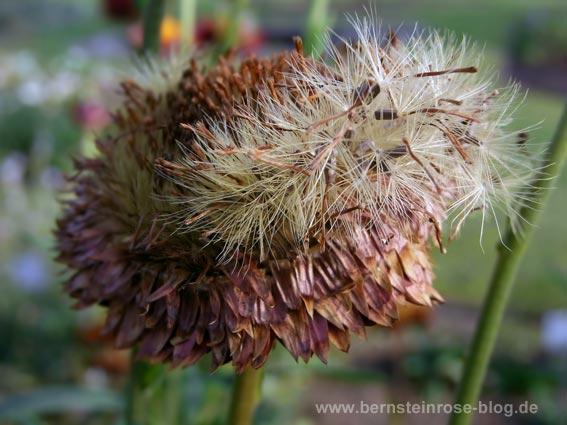 welke Strohblume mit Samen - kaminrot und golden