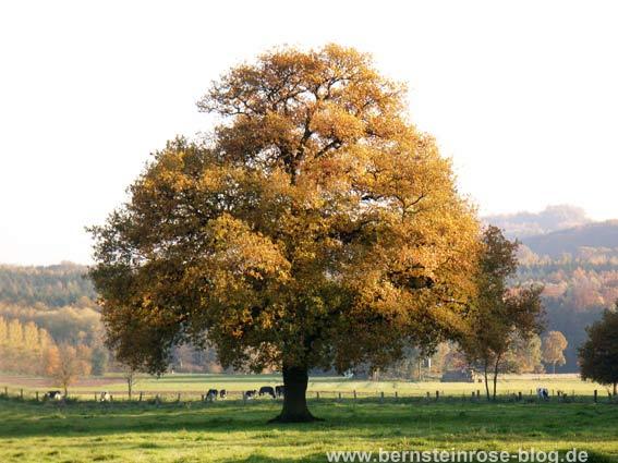 Eichenbaum im Herbst mit braunen Blättern in der Sonne