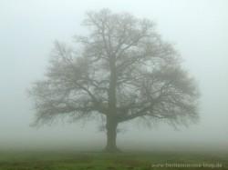Eichenbaum im Nebel, herbstliche Eiche