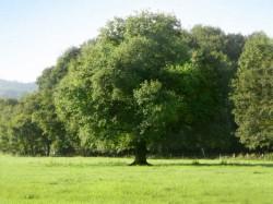 Eichenbaum im Sommer, grüne Wiese und grüner Wald