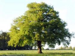 Eichenbaum im Frühjahr in zartgrünen Blätterkleid in der Sonne
