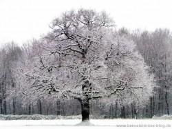 Eichenbaum im Winter, mit Schnee bedeckt