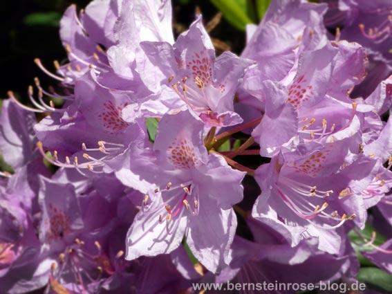 Violette Rhododendronblütendolde - Nahaufnahme