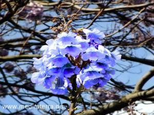 blaue Blütenrispe eines Jacarandbaums