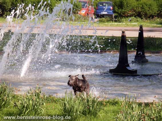 Begossener Pudel: im Springsbrunnen durchnässter Pudel mit Springbrunnenwasser in der Stadt