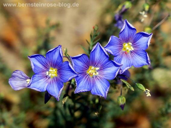Blaue Blütensterne: drei kleine blaue Blüten im Sonnenlicht