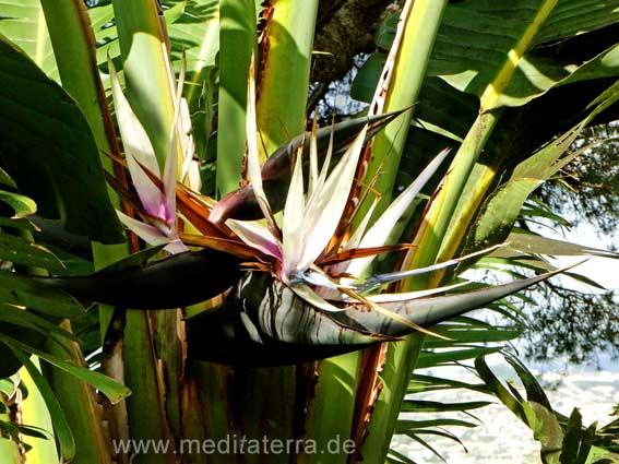 Madeira, Strelitzia nicolai - ähnelt der Bananenpflanze