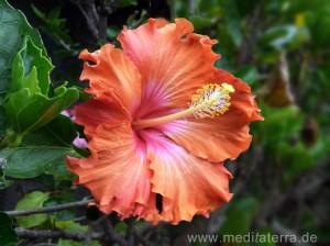 Hibsicusblüte - rot
