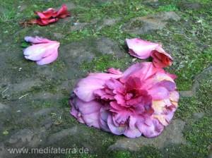 abgefallene Kamelienblüte - altes Pflaster