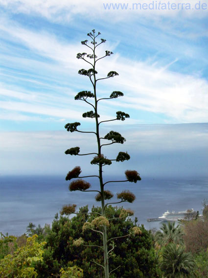 Madeira - Agavenblüte