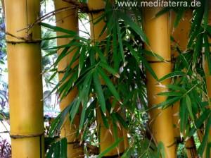 Bambus auf Madeira - Nahaufnahme