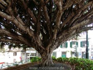 Drachenbaum in Funchal auf der Insel Madeira