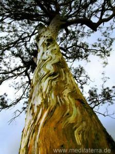Eukalyptusbaum auf der Insel Madeira