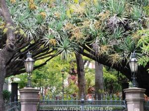 Drachenbäume - Garten in Funchal Madeira