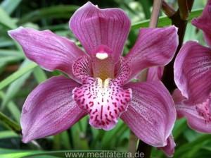 violette Orchideenblüte