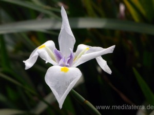 weiße Lilienblüte auf Madeira
