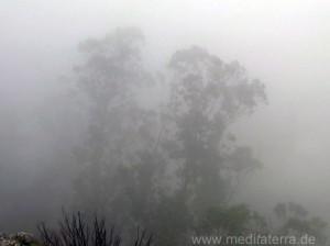 Madeira: Ekalyptusbäume im Nebel