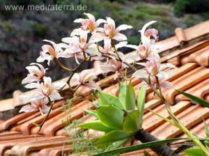 Blühende Orchideen auf Madeira - rosa
