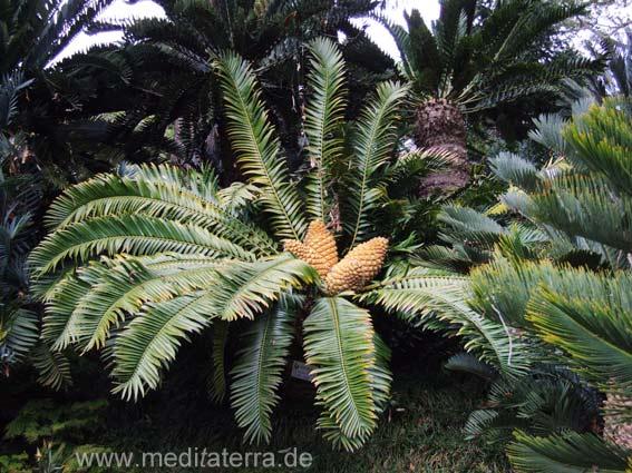 Palenfarn auf der Insel Madeira