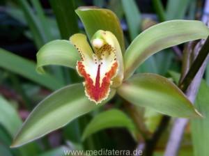 Orchideenblüte - grün