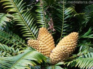 Zapfen eines Palmfarns auf Madeira