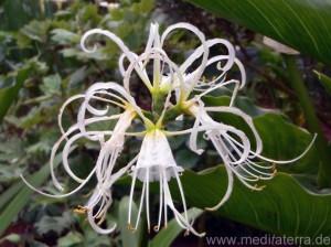 Weiße Nerine - Blüte auf Madeira