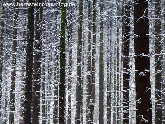 Winterwald im Schnee - verschneite Fichtenstämme
