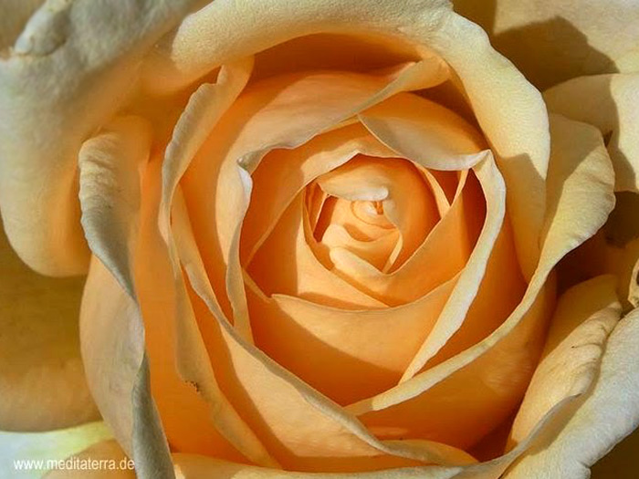 Orange Rosenblüte - Nahaufnahme