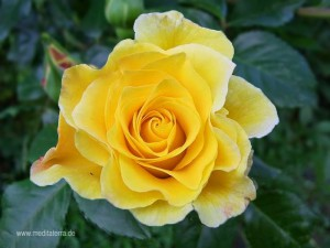 gelbe Duftrose - zitronengelb