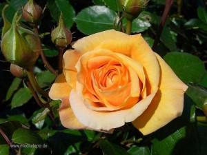 orange Rosenblüte - wahrscheinlich Bernsteinrose - orange Rose
