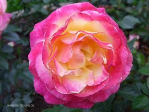 rosenblüte - rosa und leicht gelb gefärbt