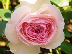 weißrosa Rosenblüte - wunderschön geformt