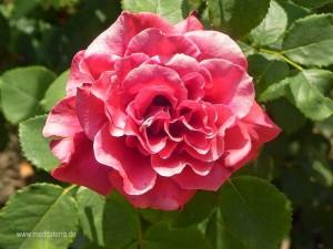 rosenblüte - rot - leicht rosa gefärbt, makroaufnahme