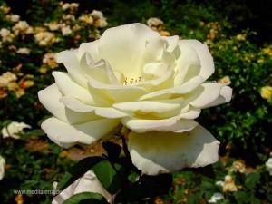 weiße Rosenblüte - seitliche Sicht