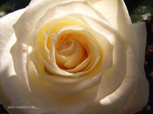 weiße Rosenblüte, verschweigen mit Sonnenlicht und Schatten