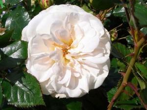 weiße Rosenblüte - Rosettenform