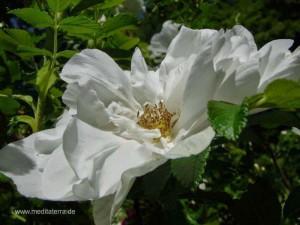 weiße wildrosenblüte - seitlich fotografiert