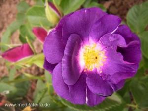 blaue Rosenblüte