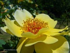 gelbe Wildrosenblüte - seitliche Ansicht