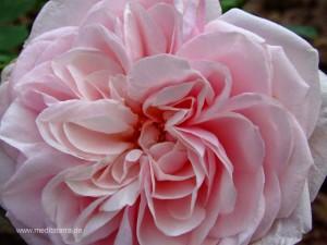 Rosa Roseblüte für einen Glückwunsch mit Rosengedichten bzw. Rosenhaikus