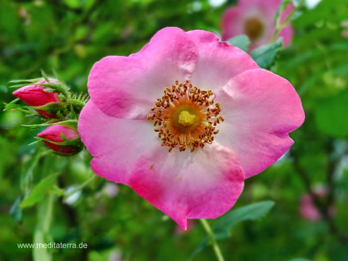 Rosa-weiße Wildrosenblüte