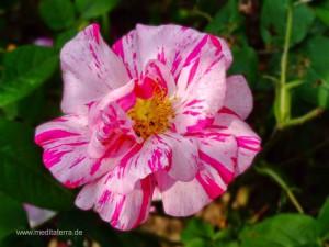 weißrote Wildrosenblüte