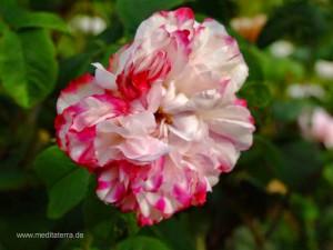 rot-weiße Wildrosenblüte
