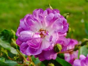 Violette Wildrosenblüte