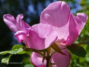Wildrosenblüte in der Sonne - pinkrosa