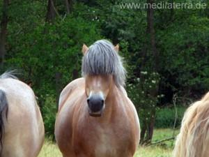 braunes Vollblutpferd mit schönem blauschwarzen Pferdehaar